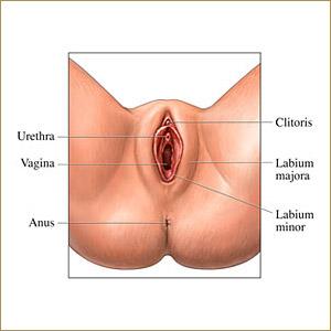 vagina-illustration